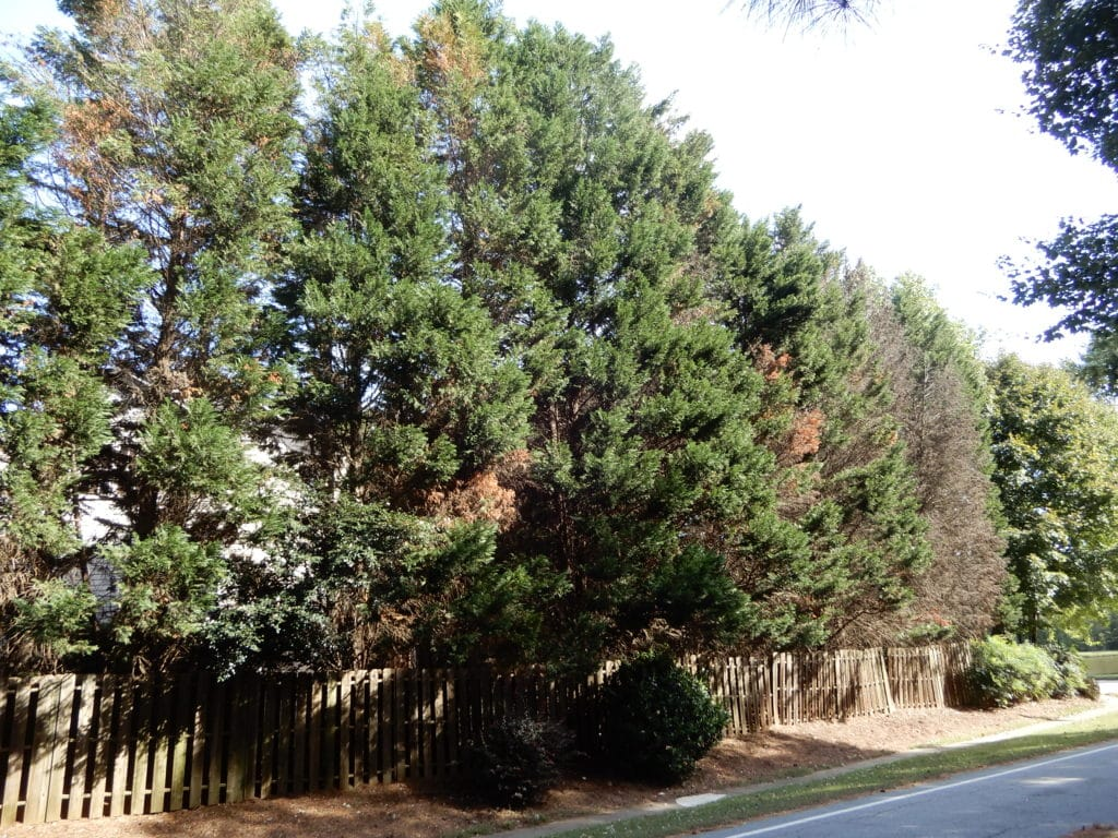 The Heartbreaking Leyland Cypress What You Need To Know Downey Tree Service